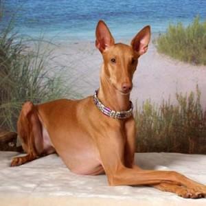 egipatski faraonski pas