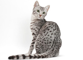 Egipatski mau – mačka iz doba faraona