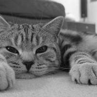 Mačke prepoznaju glas svog vlasnika, ali ih nije briga