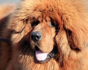 tibetski mastiff