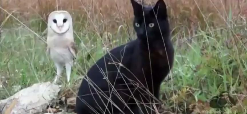 Neverovatno: Prijateljstvo mačke i sove! (VIDEO)