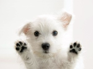 White-Dog-Happy-Puppy-Windows-Wallpapers-HD-Background