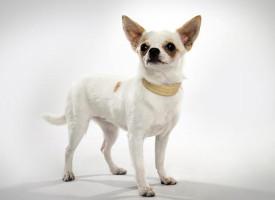 Čivava – najmanji pas na svetu
