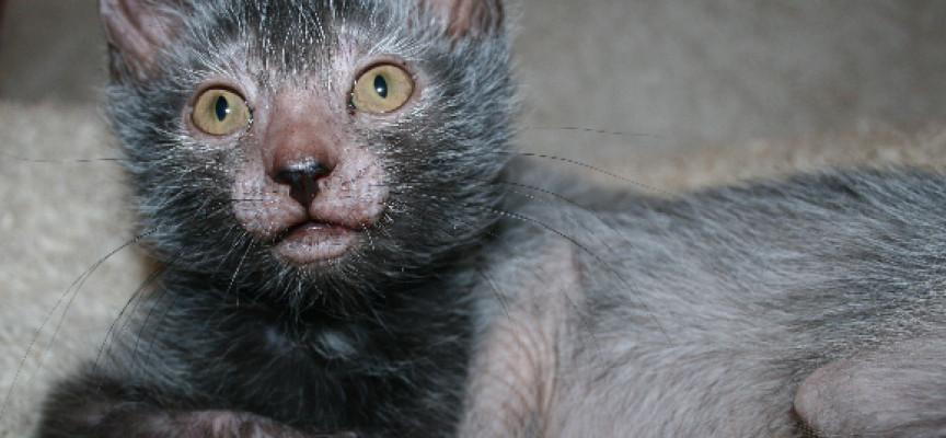 Nova rasa mačke koja liči na vukodlaka