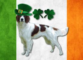 Irske rase pasa
