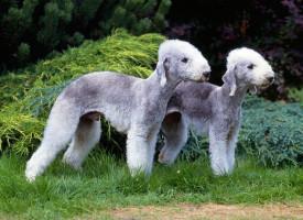 7 neobičnih i retkih rasa pasa