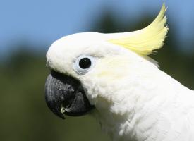 Kakadu – najbolji ljubimac među papagajima