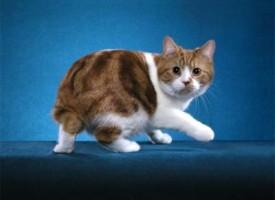 Manks  – bezrepa mačka sa ostrva Man