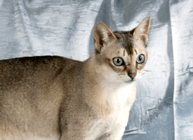 Singapurska mačka – najmanja rasa mačjeg sveta
