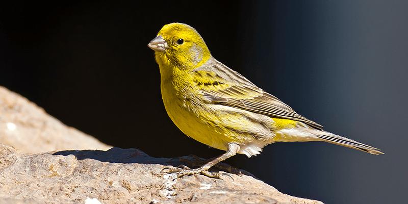 Canary 4