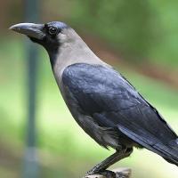 Fascinantna inteligencija vrana