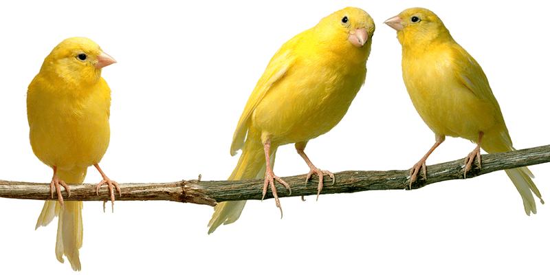 canary 3