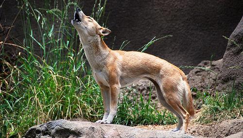 novogvinejski pevajuci pas