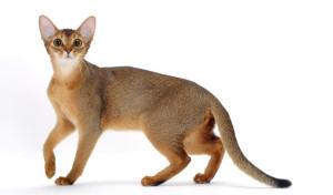 Abesinska mačka 1