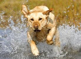 Labrador retriver – najpopularniji pas na svetu