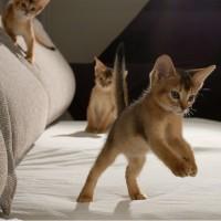 Abesinska mačka – atleta mačjeg sveta