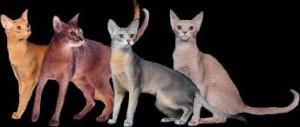 abesinska macka boje