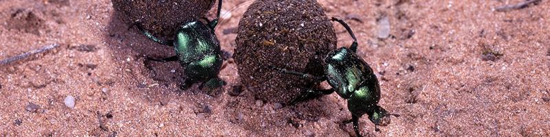 Green Dung Beetles (Garreta nitens) rolling dung balls
