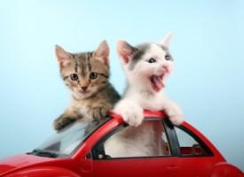 Strah od vožnje? Kako mačku pripremiti za putovanje