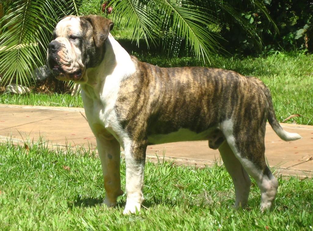 Brazilski buldog - Bulldog Campeiro