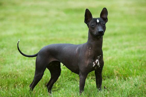 Meksički golokoži pas ili Xoloitzcuintle