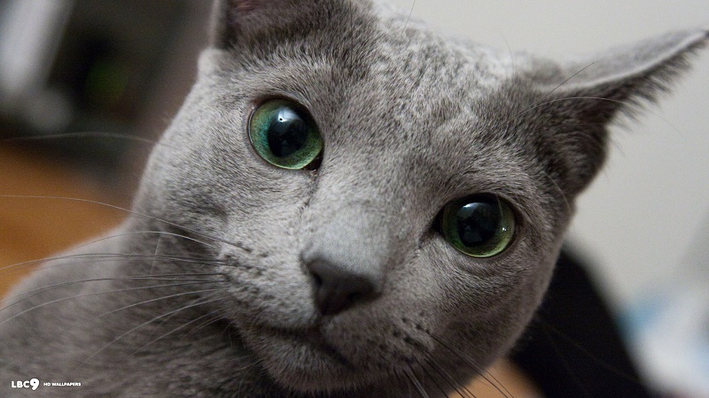 big-green-eyes-russian-blue-hd