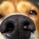 Psi koji imaju najbolji njuh