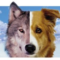 Vukovi i psi komuniciraju i očima