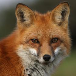 lisica