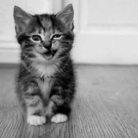 Vokalna komunikacija mačaka – mjaukanje, frkatanje, cvrkutanje, režanje…
