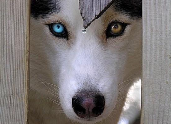 Različita boja očiju kod ljubimca – Heterokromija