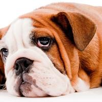 Istraživanje: Psi mogu biti pesimisti