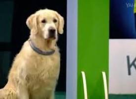 Pas pao na testu poslušnosti, ali osvojio srca svih (VIDEO)
