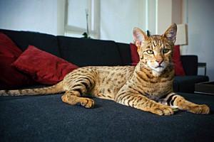ashera najskuplja macka