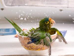 kupanje papagaja