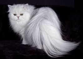 persijska bela macka