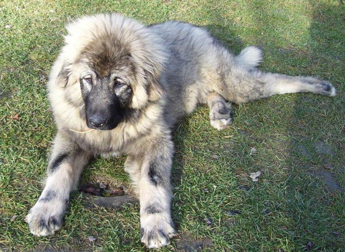 Srpske rase pasa