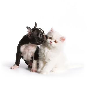 bostonski terier i mačka