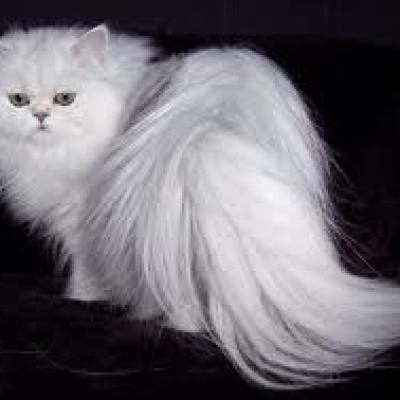 Persijske mačke – mirne, privržene i mazne