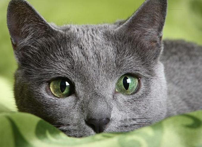 Ruska plava mačka – tiha, inteligentna i odana kao pas