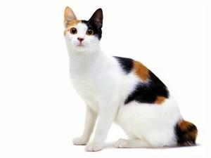 japanska bobtejl mačka