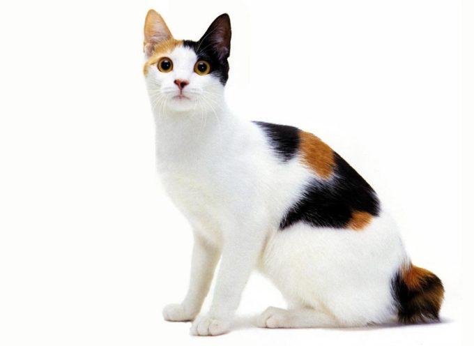 Japanski bobtejl – jednostavno neobična mačka