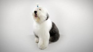 Dog Breeds Bobtail
