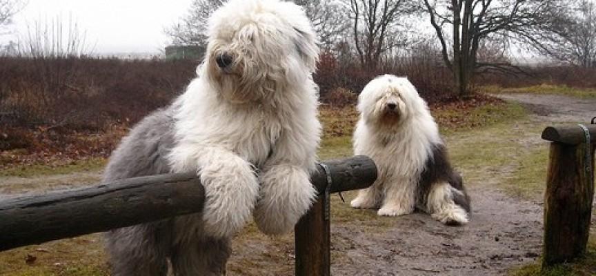 Bobtail – nekada pas pastira, danas kralj izložbi