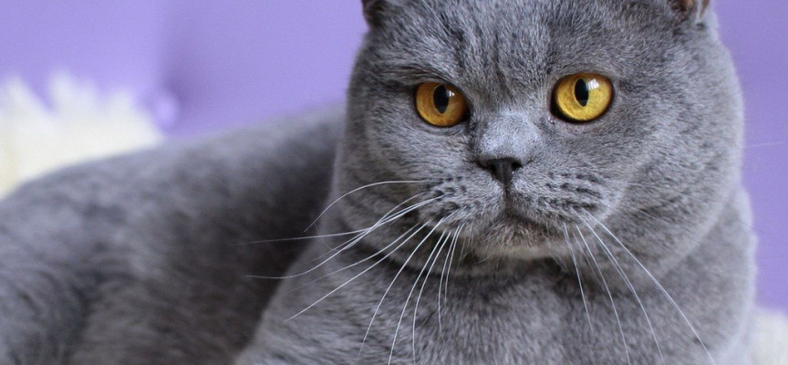 Britanska kratkodlaka – mačka zvana plišani meda