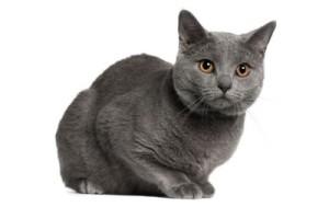 kartuzijska macka