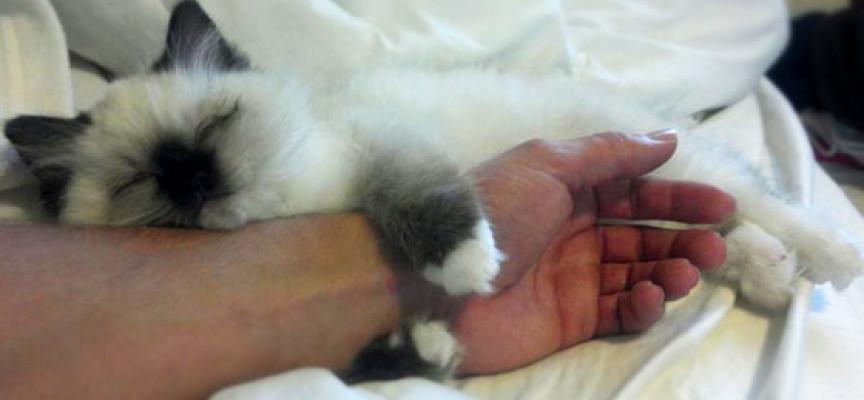 Devet rasa mačaka kojima nikada nije dosta pažnje