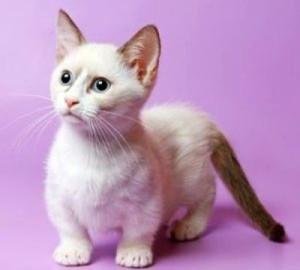 mančkin mačka