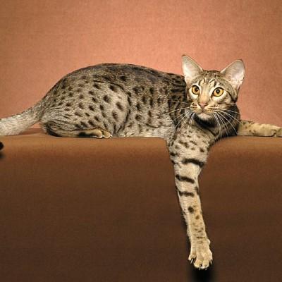 Ocicat mačka – kao ljubimac iz džungle