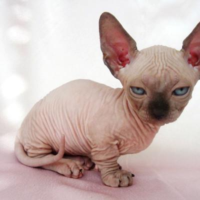 Sfinks – mačka koja nikoga ne ostavlja ravnodušnim